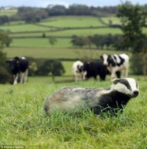 Badger with cattle in the background